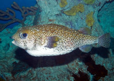 Large Puffer Fish Stock Photo
