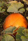Large pumpkin growing in the field. Large pumpking peeking from behind the leaves Royalty Free Stock Photo