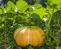 Large pumpkin growing in garden Stock Photography