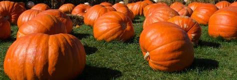 Large pumpkin patch Stock Photos