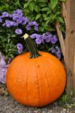 Large pumpkin with purple mums Stock Images