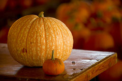 Large pumpkin. Large and small pumpkin beside each other and blurred background Stock Photos