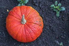 Large pumpkin in soil stock photography