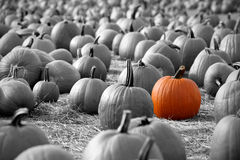 Large Pumpkins Stock Images