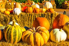 Large Pumpkins & Squash For Halloween Stock Photography