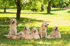 Large purebred canine family. On meadow in the park. Mature golden retrievers and their puppies relaxing under the shadow of tree stock images
