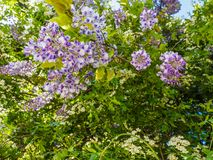 Wisteria Wisteria sinensis. Large purple clusters of wisteria Wisteria sinensis blooming in the spring stock images