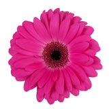 Large purple flower gerbera Stock Photo