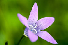 Large purple flower rare type of bell Royalty Free Stock Photo