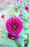 Purple flowers in the plots. stock photo