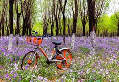 Large purple flowers in the woods, orange bicycles, country parks warm atmosphere stock image