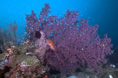 Large Purple Gorgonian Seafan with Grouper Royalty Free Stock Photos