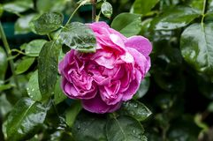 Large purple rose flower in garden after rain. Luxurious pink rose close-up with drops after rain on a background of dark green