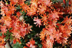 Large quantity of orange flowers on a lewisia plant. Background stock photo