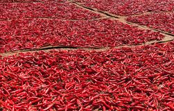 Red chilli peppers drying in the sun royalty free stock image