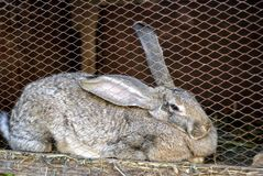 Large rabbit in a cage. Large gray rabbit in a cage Stock Images
