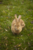 Large Rabbit Royalty Free Stock Photo