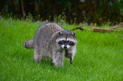 RACOON IN THE RAIN. Large Racoon finding food in the grass on a rainy day Royalty Free Stock Image