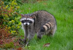 RACOON IN THE RAIN. Large Racoon finding food in the grass on a rainy day Stock Images