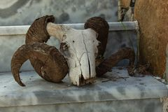 Large ram skull on the stairs royalty free stock photo