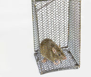 Large rat in cage Stock Image