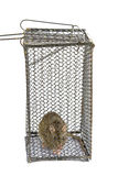 Large rat in cage Stock Images