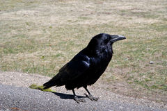 Large Raven Royalty Free Stock Photography