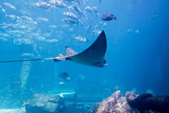 Large Ray in Aquarium in Bahamas. View of Large Ray in Aquarium in Bahamas royalty free stock photography