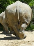 Big Leathery Rhinocereous Backside. The large rear end of a rhino with tough leathery skin royalty free stock photography