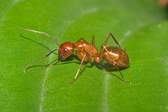 Large Red Ant Royalty Free Stock Photos