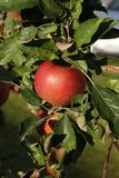 Large red apple in  the  sun on  the  apple tree Royalty Free Stock Photography