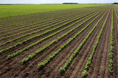 Large red bean field Stock Images