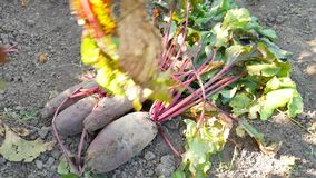 Large red beetroot with beautiful green leaves in vegetable garden. Large red beetroot with beautiful green leaves in a vegetable garden stock video footage