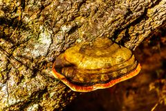 A large red Belted Bracket fungus an old tree along the hiking trail to Sticta Falls in Wells Gray Provincial Park, BC stock image