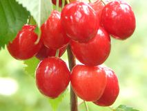 A large, red berry sweet cherry ripened and ready for use. stock images