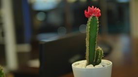 Large red bloom on the hedgehog cactus.  stock footage