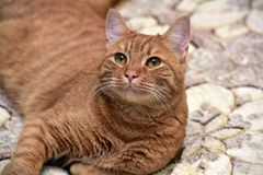 Red cat lying on the couch Stock Images