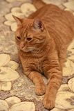 Large red cat lying Royalty Free Stock Photo