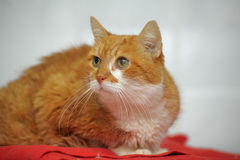 Large red cat Royalty Free Stock Photo