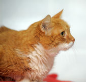 Large red cat Royalty Free Stock Photography