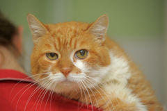 Large red cat Stock Image