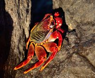 Large red crab Royalty Free Stock Photos