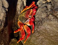 Large red crab Stock Images