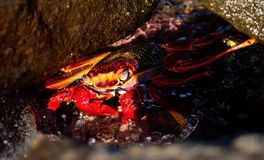 Large red crab Stock Photo
