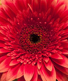Large red daisy Royalty Free Stock Photography