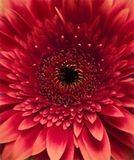 Large red daisy Stock Photo