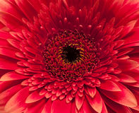 Large red daisy Stock Images