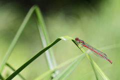 Large Red Damselfly Royalty Free Stock Photo