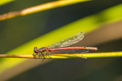 Large Red Damselfly Royalty Free Stock Photography