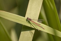 Large red damselfly Stock Photography